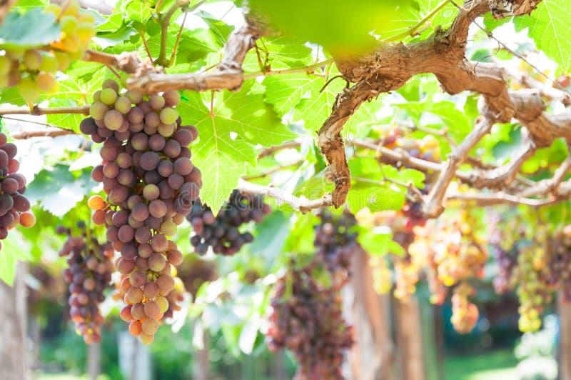 Groupes de raisins de cuve accrochant sur la vigne avec les feuilles vertes images stock