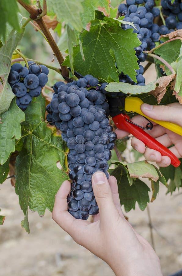 Groupes de raisins rouges étant rassemblés photo libre de droits