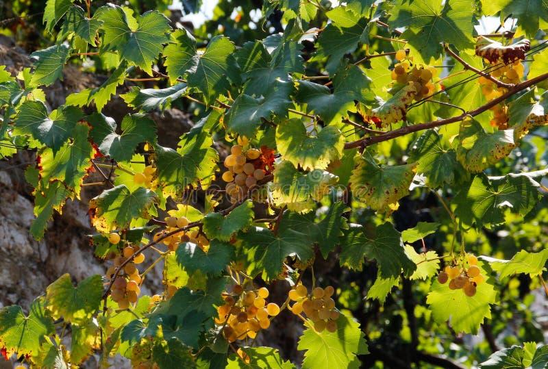 Groupes de raisins verts mûrs sur les rues photographie stock
