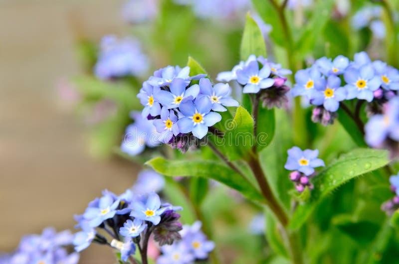 Groupes lumineux de jeunes bleus de fleurs oublier-je image libre de droits