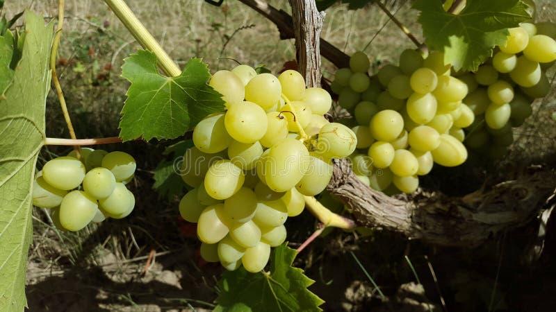 Groupes mûrs de raisins vert clair dans le jardin photo libre de droits
