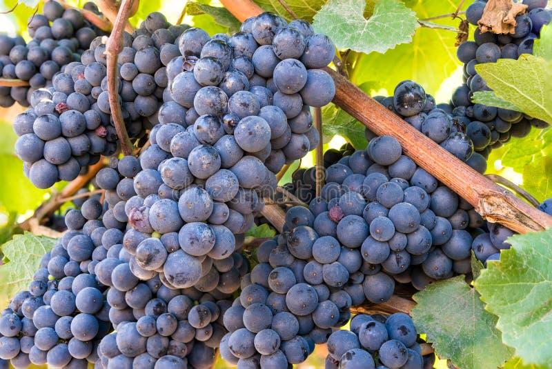 Groupes mûrs rouges de vin de raisin rouge, groupes sur le vignoble prêt pour la moisson photos stock