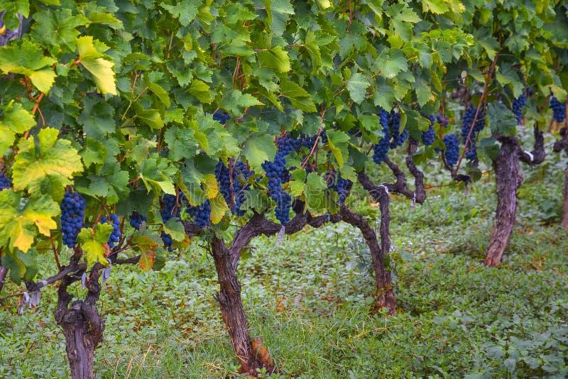 Groupes mûrs appétissants de raisins foncés sur la vigne photos stock