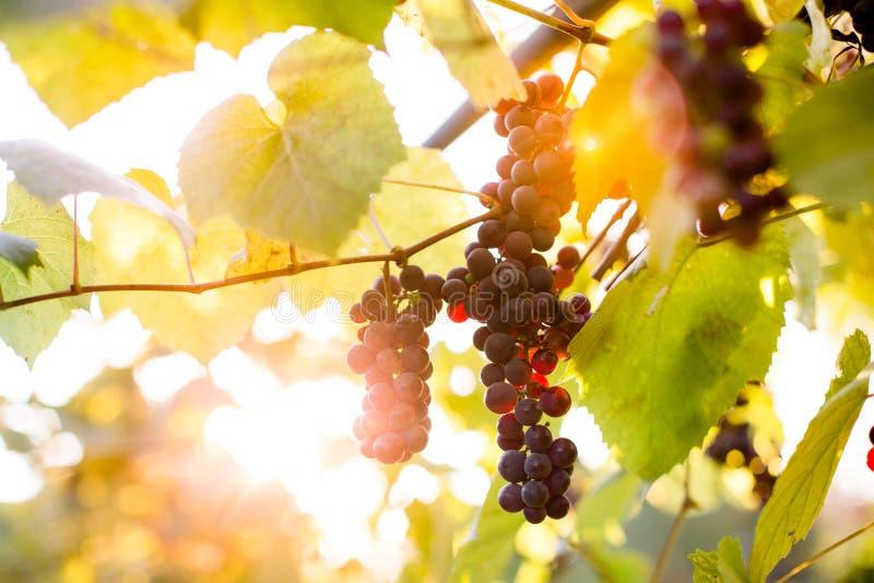 Groupes pourpres de raisin image stock