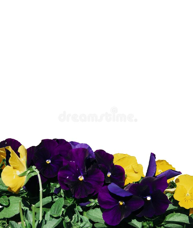 Groupez l'alto tricolore avec les fleurs pourpres et jaunes foncées, isolement images stock