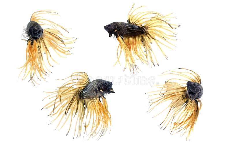 Groupez la queue de couronne des poissons de combat siamois, bêtas poissons sur le fond blanc photos stock