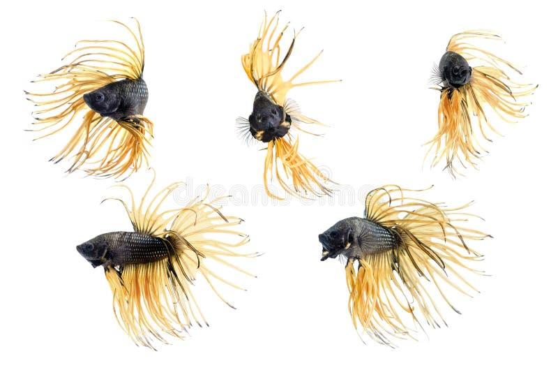 Groupez la queue de couronne des poissons de combat siamois, bêtas poissons sur le fond blanc images libres de droits