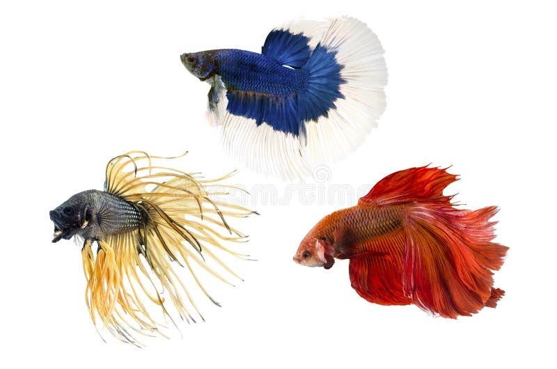 Groupez les poissons de combat ofSiamese, bêtas poissons sur le fond blanc photos libres de droits