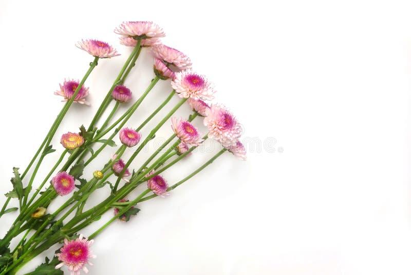 Pink Chrysanthemums royalty free stock image