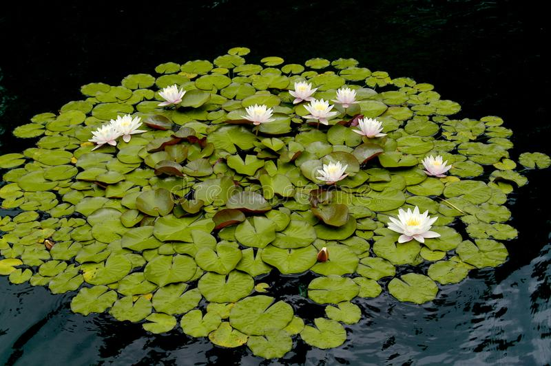 Water Lilies floating in a dark pond in a beautiful collection. stock photos