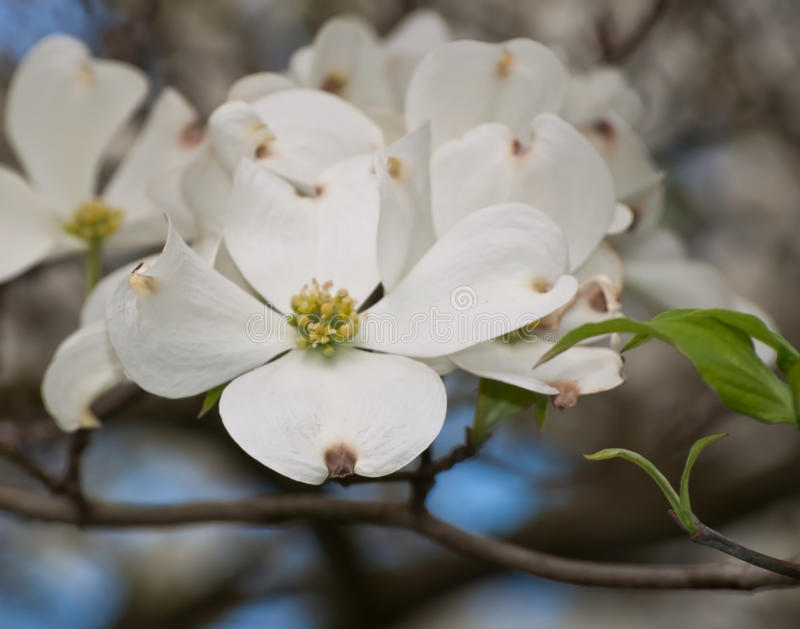 A grouping of white dogwood flowers stock images