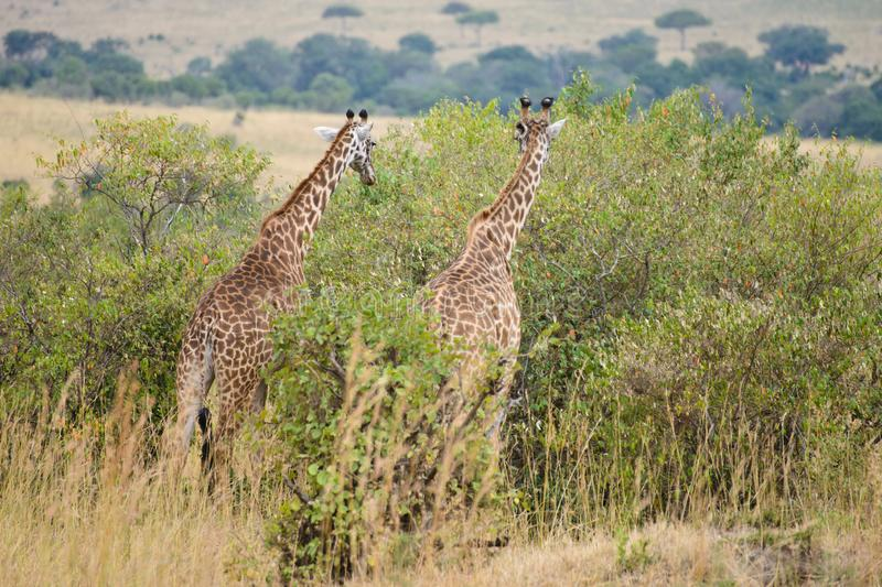 A couple of giraffes royalty free stock image