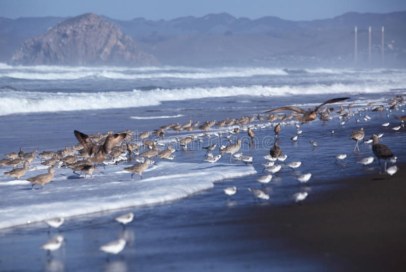 Groups of Long-billed curlew and Sanderling stand on a beach. Freedom concept royalty free stock image
