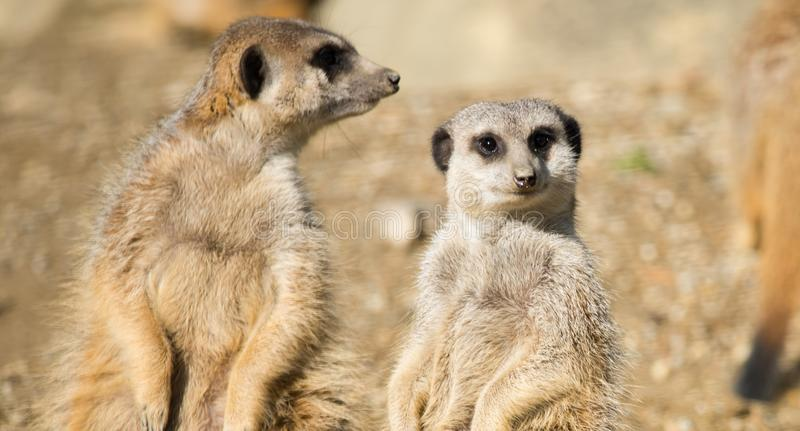 Groups of Meerkats in the open. The meerkat or suricate, Suricata suricatta, is a small carnivoran belonging to the mongoose family. Small mammals in the open royalty free stock images
