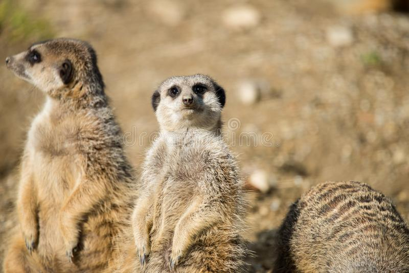 Groups of Meerkats in the open. The meerkat or suricate, Suricata suricatta, is a small carnivoran belonging to the mongoose family. Small mammals in the open royalty free stock photo