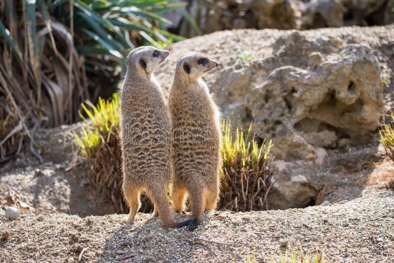 Groups of Meerkats in the open. The meerkat or suricate, Suricata suricatta, is a small carnivoran belonging to the mongoose family. Small mammals in the open stock image