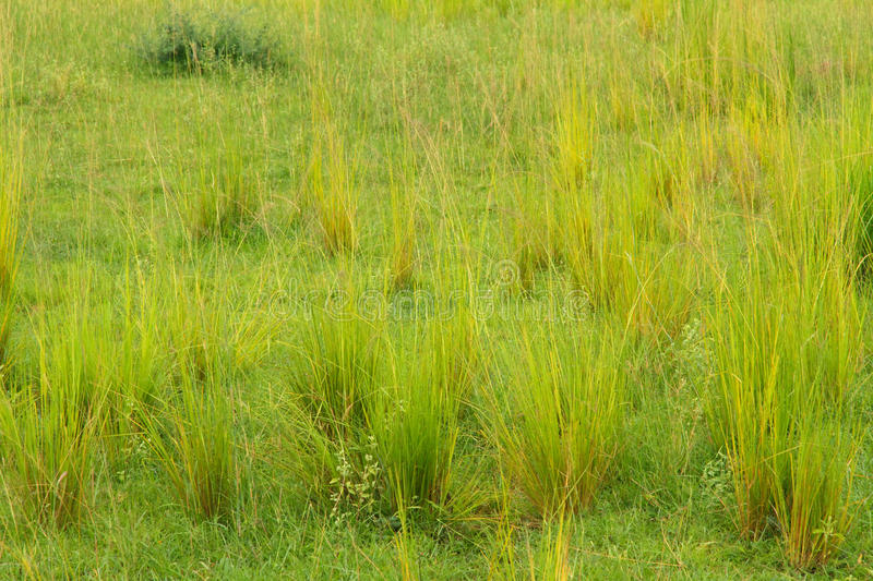 Groups of Savannah Grasses. Newly growing groups of green and yellow savannah grasses stock image