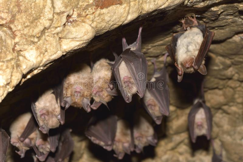 Groups of sleeping bats in cave - Lesser mouse-eared bat Myotis blythii and Rhinolophus hipposideros - Lesser Horseshoe Bat. Groups of sleeping bats in cave stock images