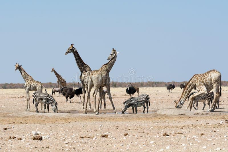 Groupt жирафов и других животных на waterhole стоковая фотография