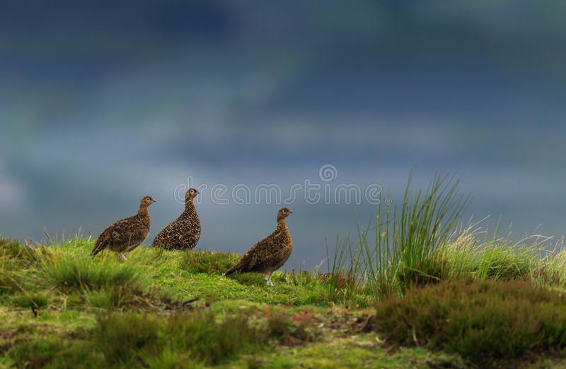 grouse image stock