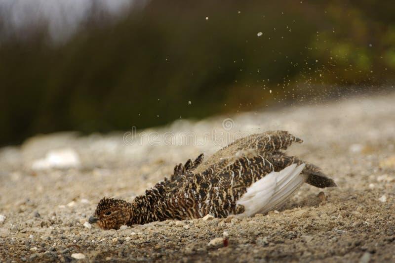 grouse blanche photographie stock libre de droits