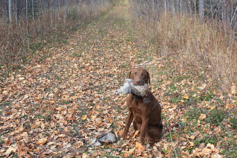 Grouse hunting with dog. On a trail in the boreal forest stock photos