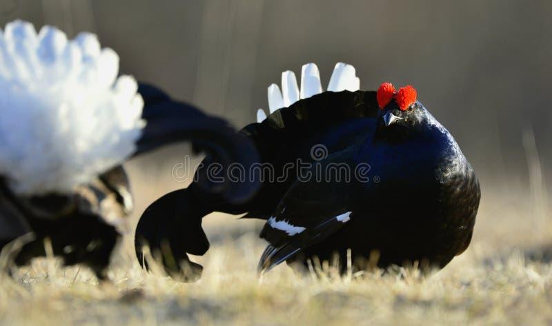 Grouse Lekking черный (tetrix Lyrurus) стоковое фото rf