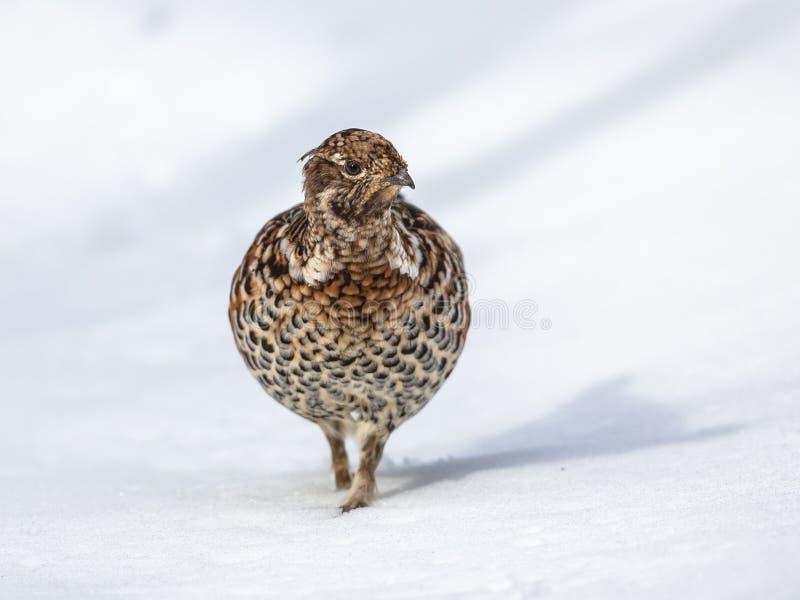 Grouse noisette dans la neige photo stock