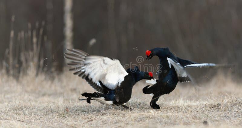 Grouses noires de combat photos libres de droits