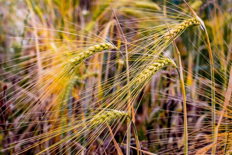 Grova spikar av korn som täckas med dagg Morgon i fält royaltyfria bilder
