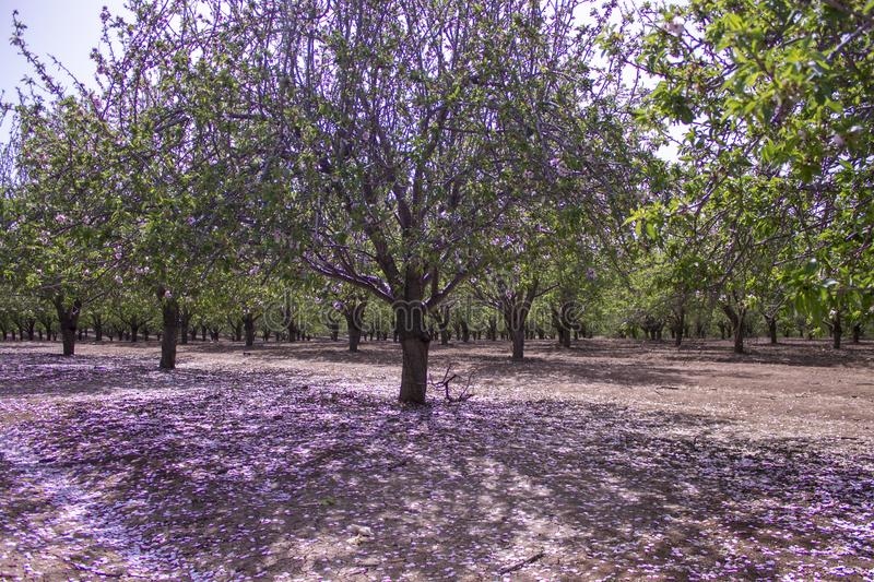 Grove of almond trees royalty free stock photography