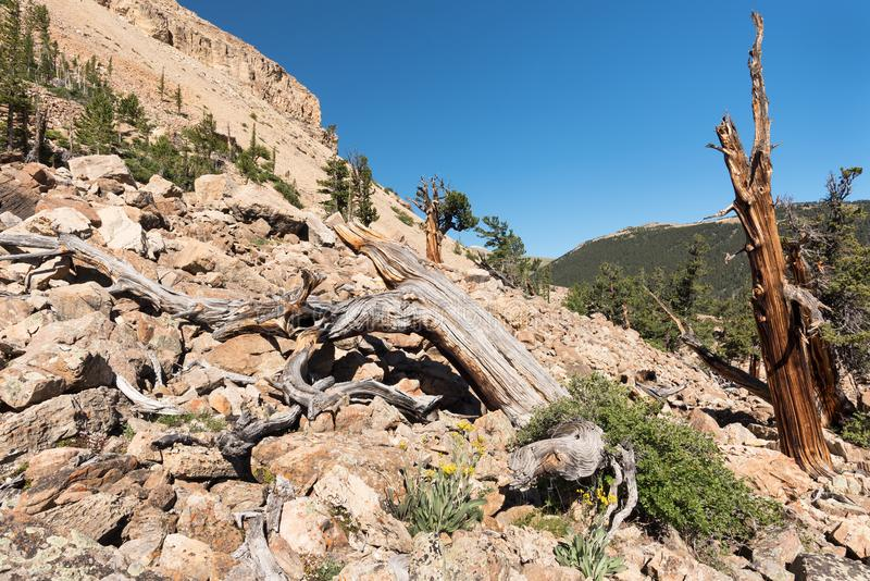 A grove of ancient Limber Pine and Bristle Cone Pine trees located in the Mosquito Range. The South Park National Heritage Area i stock photos