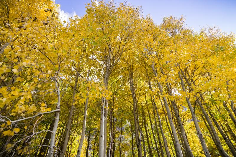 Grove of aspen trees on a sunny fall day. Eastern Sierra mountains, California stock photography