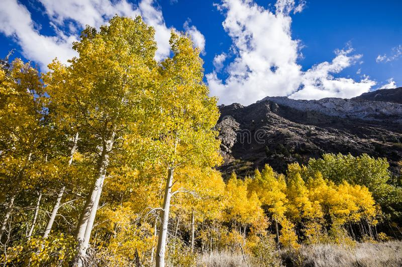 Grove of aspen trees on a sunny fall day. Eastern Sierra mountains, California royalty free stock photography