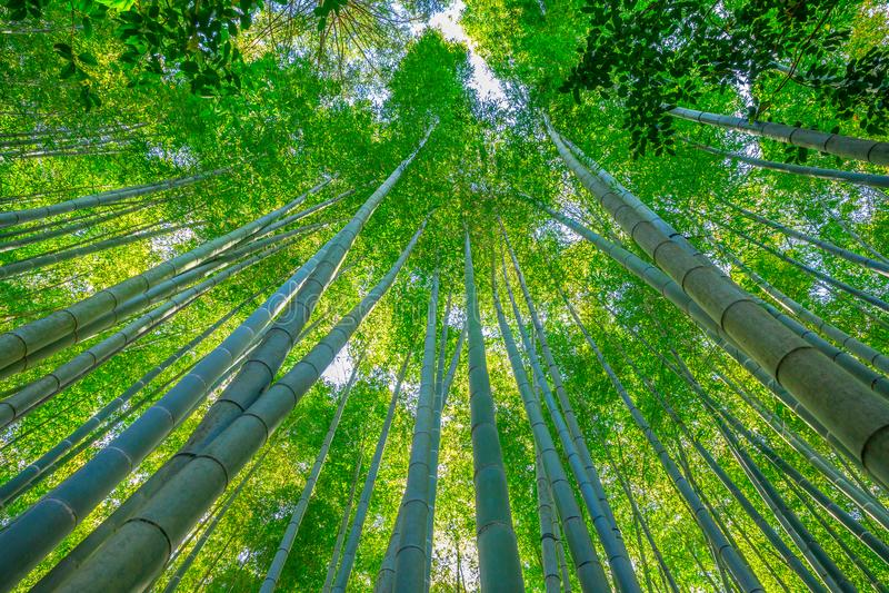 Bamboo garden grove. Grove of the bamboo garden of the Take-dera Temple or Hokoku-ji Temple of Kamakura town of Japan. Meditative and Buddhism concept stock photos