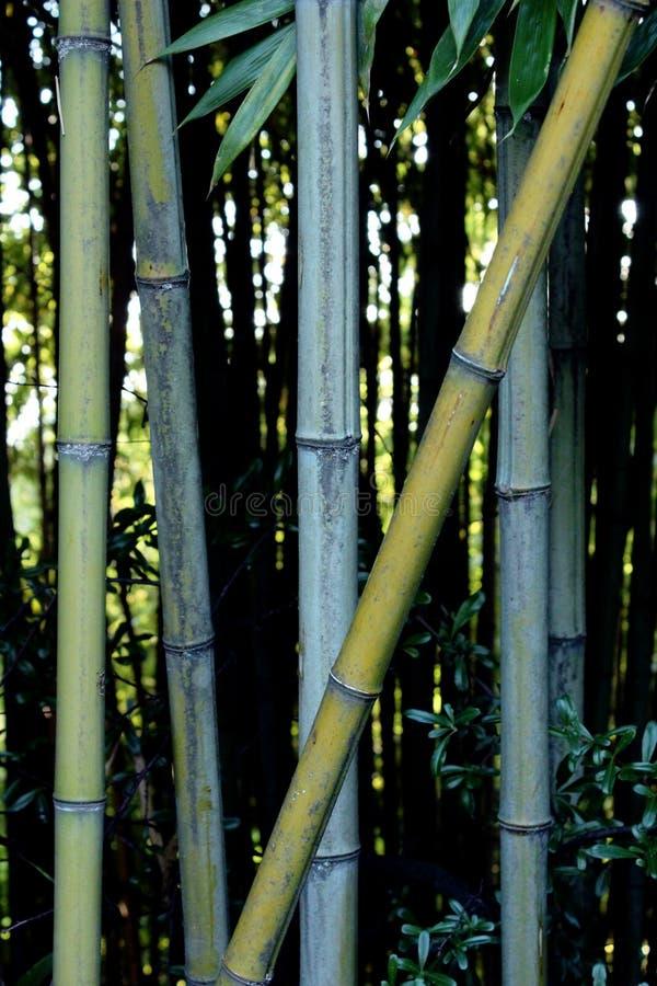 grove bambusowego wysoki jpg rezolucji zdjęcie stock