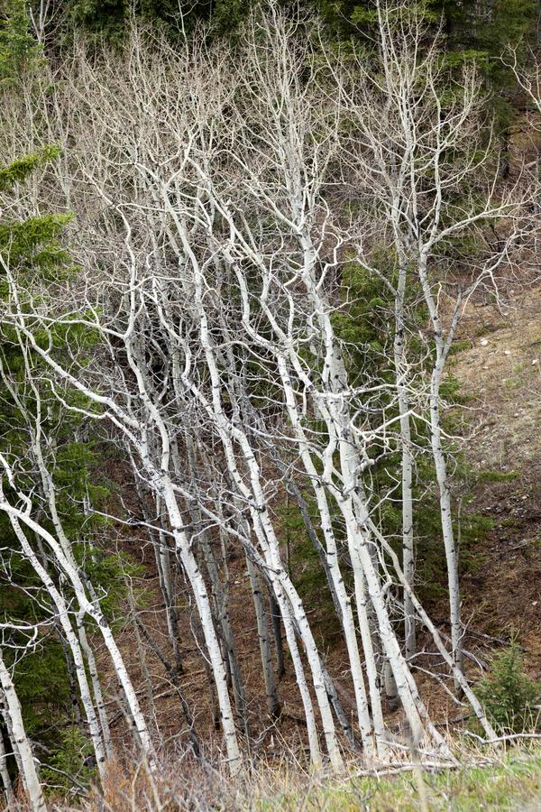 Bare white aspen trees in the springtime royalty free stock image