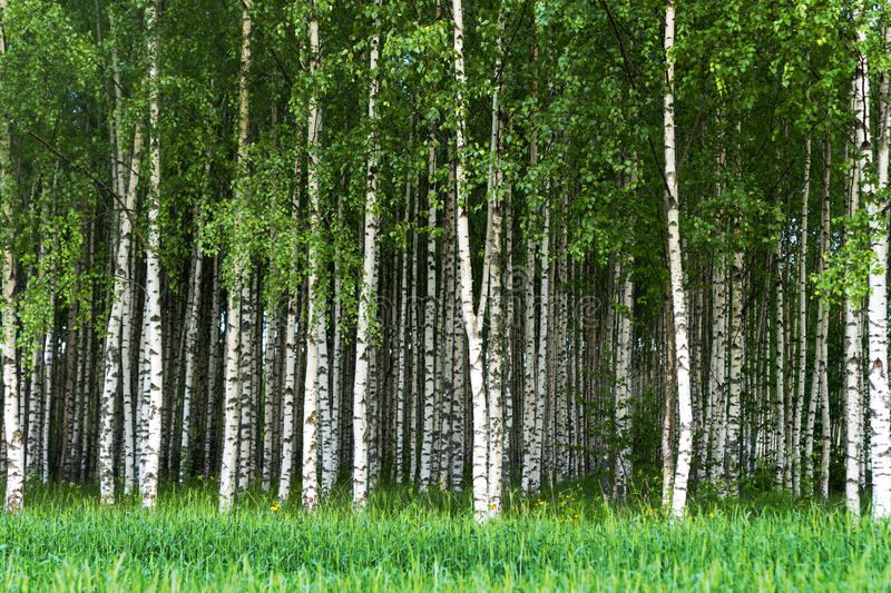 Grove of birch trees. Beautiful Swedish summer landscape with grove of birch trees with white and black trunks and deep green leaves royalty free stock images