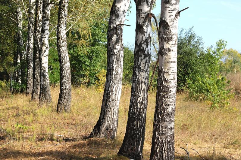 Birch trees in autumn. Grove of birch trees in early autumn royalty free stock image