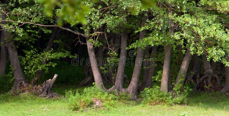 Grove of black alder royalty free stock image