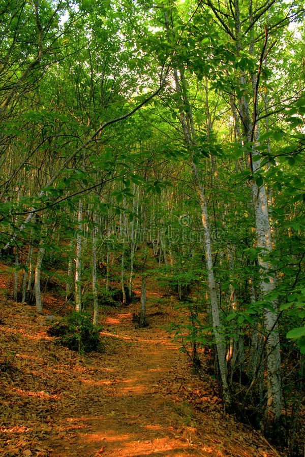Download Grove Of Chestnut Trees In Las Medulas Stock Photo - Image: 73896800
