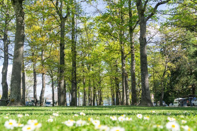 Grove of deciduous trees planted in Amuri Street Hanmer Springs stock image