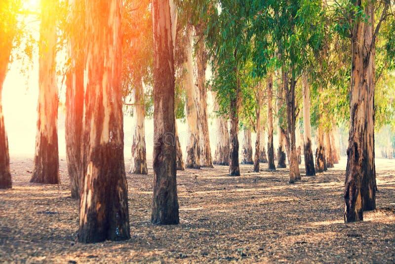 Grove of eucalyptus trees stock photography