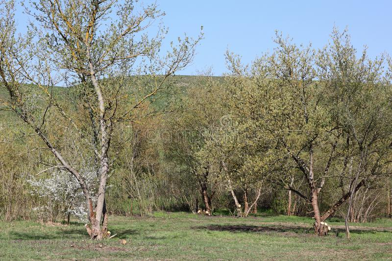 Grove at the foot of the Arkenberge hills in Berlin in spring. The Arkenberge in Blankenfelde in the north of Berlin was originally a natural range of hills. By stock photo