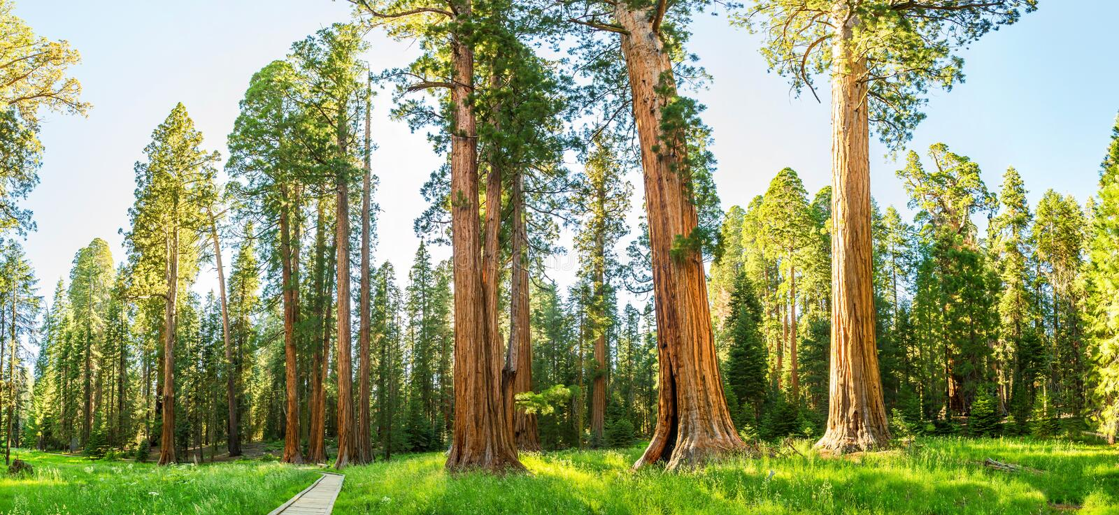Grove with giant pine tree forest panorama royalty free stock photography