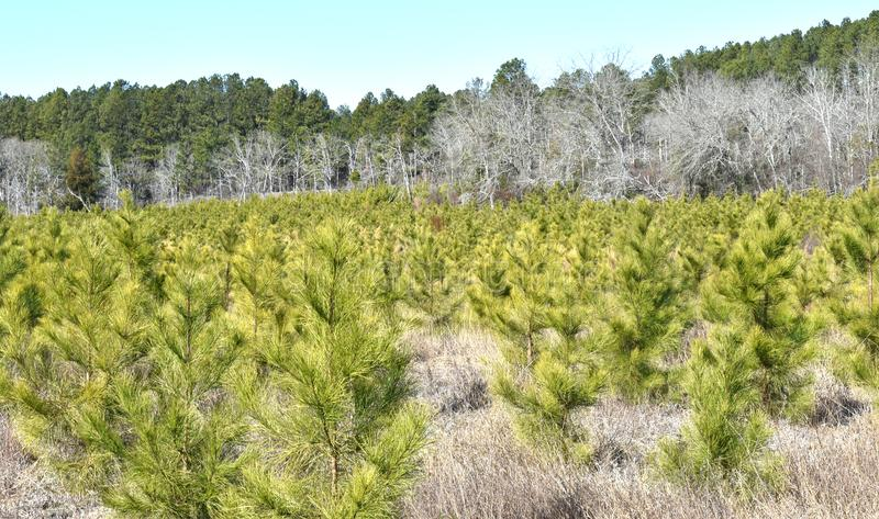 Loblolly Pine Trees in South Carolina royalty free stock image
