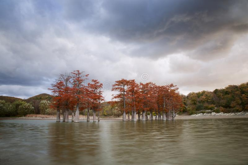 The grove of marsh cypress trees in autumn stock photos