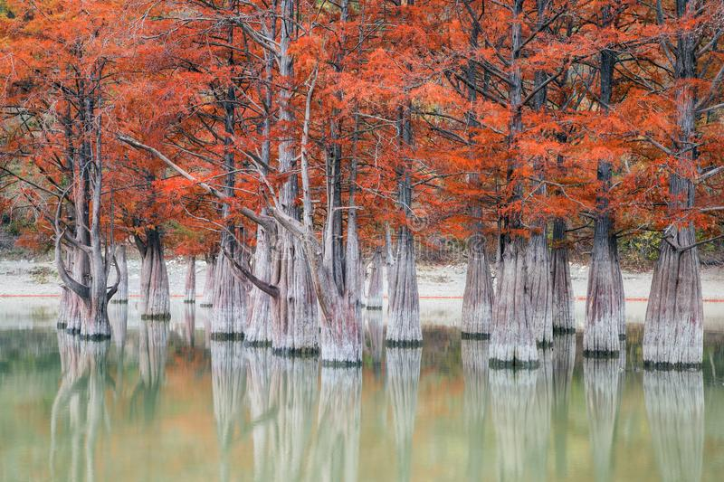 The grove of marsh cypress trees in autumn stock images