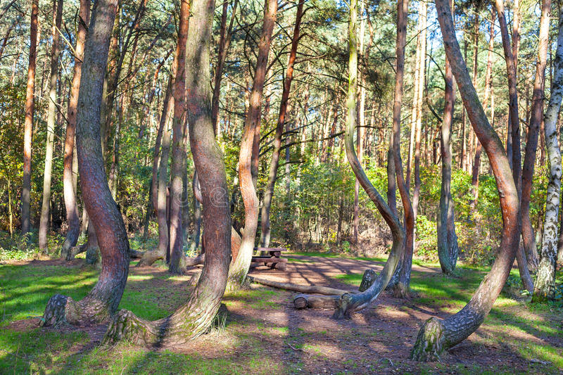 Grove of oddly shaped pine trees in Crooked Forest, Poland stock image