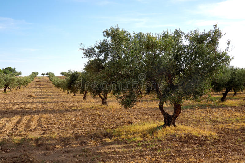 View across a grove of olive trees royalty free stock photography